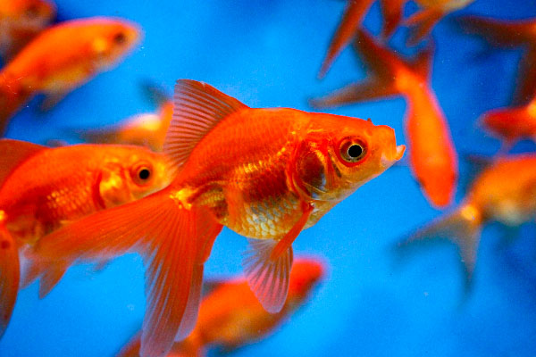 Pond fish, Goldfish, Red Fantail, Fantail goldfish, goldfish for